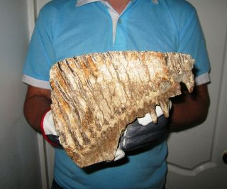Big Tooth Of A Woolly Mammoth Museum Quality Fossil Pleistocene