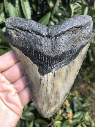 """Huge Color 5.  21"""" Megalodon Tooth Fossil Shark Teeth"""