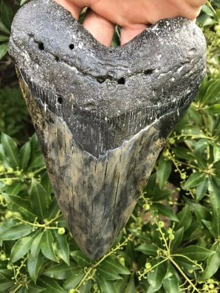 "Huge Colorful 6.  44 "" Megalodon Tooth Fossil Shark Teeth"
