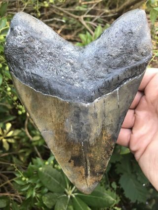 """Huge Heavy 6.  16 """" Megalodon Tooth Fossil Shark Teeth Over 1 Pound"""