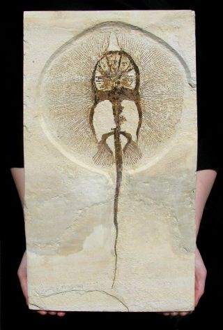 Extinctions - Impressive Heliobatis Stingray Fossil - Perfect For Framing