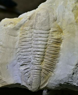 Ultra Rare 95mm Hongjungshoia Trilobite Fossil Early Cambrian,  Malong Biota