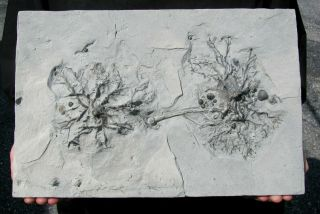 Extinctions - Killer Double Crinoid Holdfast Fossil W/complete Trilobite
