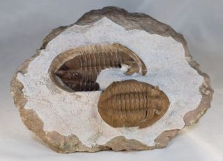 Russian Trilobite Asaphus Lepidurus Natural Pair In - And - Out Ordovician Fossil