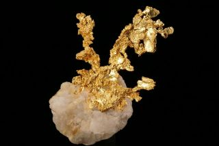 EXTRAORDINARY Native Gold Crystal Cluster on Quartz EAGLES NEST MINE,  CALIFORNIA 5