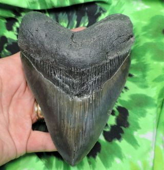 Megalodon Sharks Tooth 5 9/16  Inch Fossil Sharks Tooth Teeth