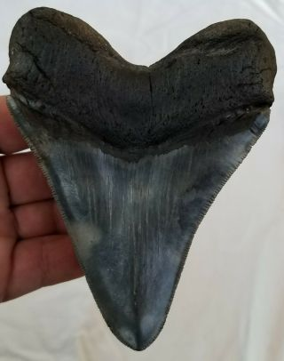 "Colored,  Heavily Serrated 5.  19 "" Megalodon Tooth.  No Restoration"