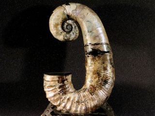 Ammonite from Russia AUDOLICERAS 3