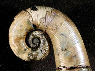 Ammonite from Russia AUDOLICERAS 4