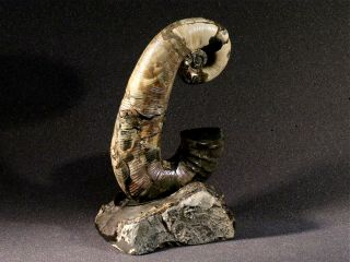 Ammonite from Russia AUDOLICERAS 6