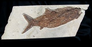 """Extinctions - Huge 11.  5 """" Complete Fossil Fish From Lebanon - Dinosaur Age"""