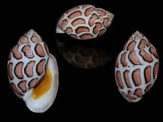Seashell Punctacteon Eloiseae Best Of The Best Live Collected Monster 33.  1 Mm