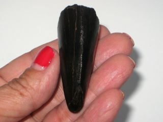 Large T - Rex Tooth Tip - dinosaur fossil 10