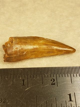 Triassic Postosuchus Tooth From Texas