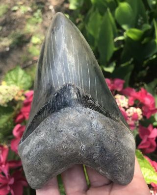 """Huge Colorful Dagger 5.  58 """" Megalodon Tooth Fossil Shark Teeth"""