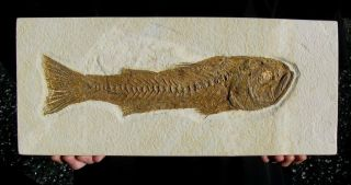 Extinctions - Huge Predatory Mioplosus Fossil Fish Plate - Over A Foot Long