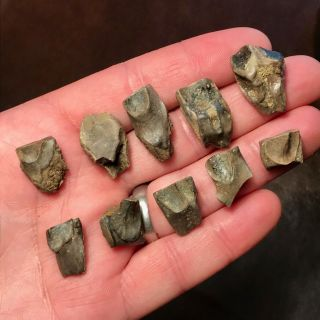 10 X Triceratops Shed Teeth - Hell Creek Formation Dinosaur -