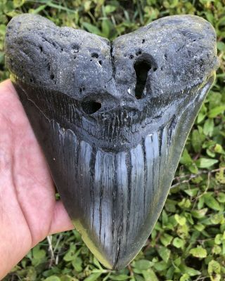 """Huge 6.  08 """" Megalodon Shark Tooth Fossil"""