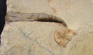 Museum Quality Trilobite And Archaeocyathid Association Piece