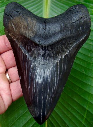 Megalodon Shark Tooth - Over 5 & 3/4 In.  Museum Grade - Lower Jaw - Real Tooth