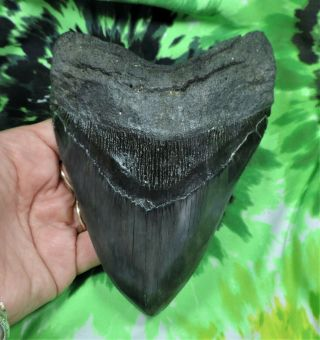 Megalodon Sharks Tooth 5 7/8  Inch Fossil Sharks Tooth Teeth