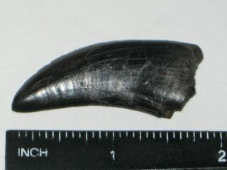 Small T - Rex Tooth - dinosaur fossil 12