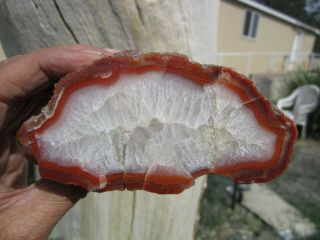(br) Yellow Cat,  Utah Polished Petrified Wood Cast Fossil Cabinet Specimen