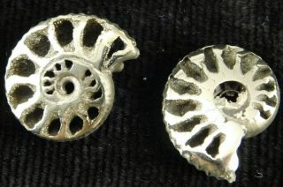 Two Little 100 Natural Polished Pyrite Ammonite Fossils From Russia 3.  33 E