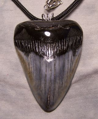 "2 5/8 "" Megalodon Shark Tooth Teeth Wireless Pendant Fossil Necklace Jaw Scuba"