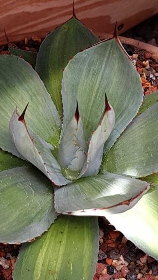 "Exclusive Plant Very Rarely Offered Agave Parryi Ssp.  Truncata "" Sunset """