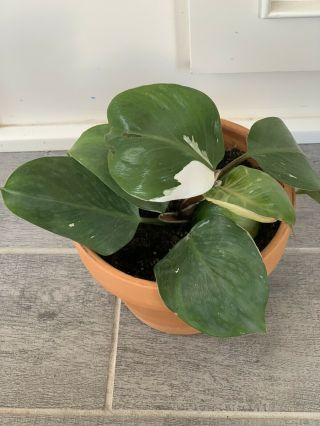 Philodendron White Knight Rare Aroid Full Plant