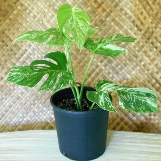 Rare White Albino Xtra Variegated Monstera Deliciosa Swiss Cheese Plant Kauairix