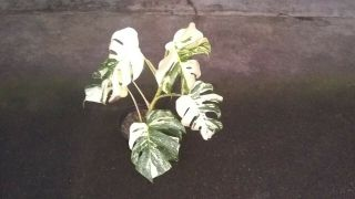 Rare White Variegated Monstera Deliciosa/ Swiss Cheese Plant.  Albino.  Lava
