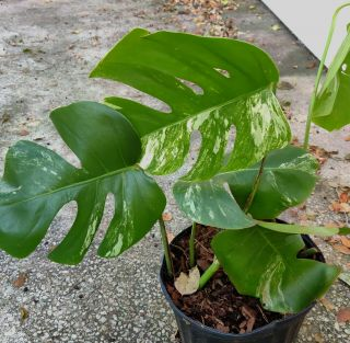 Rare Variegated Monstera Deliciosa Albo Borsigiana Fully Rooted Cutting.