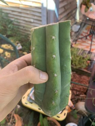 "Trichocereus Pachanoi ""landfill"" 6"" Fat Mid Cutting - Rare - Highly Sought After"