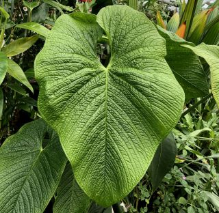 Anthurium Rugulosum– King Of The Pebble - Leaf Anthurium,  Rare Aroid,  Established