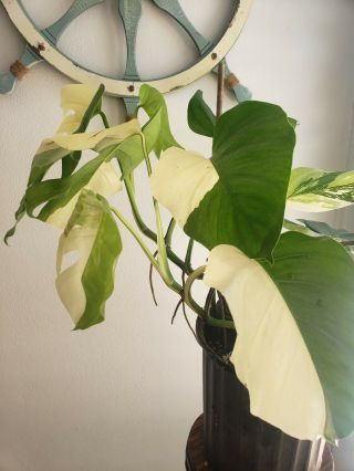 Rare Half Moon Variegated Monstera Borsigiana Albo Philodendron Rare Aroid