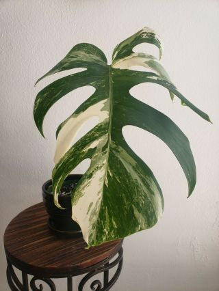 Variegated Monstera Albo Borsigiana Rare Philodendron Aroid