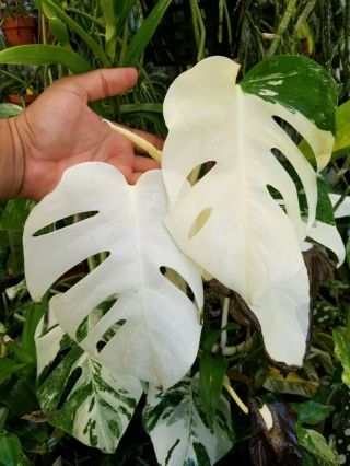 Monstera Deliciosa Albo Variegated White Borsigiana Top Cut Rare Rooted