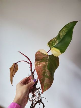 Rare - Variegated Aroid - Philodendron
