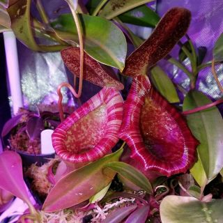 Nepenthes Briggsiana
