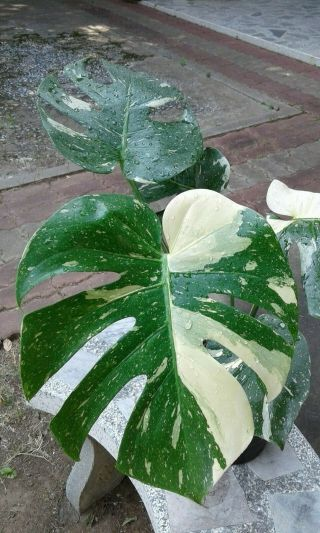 "Monstera Deliciosa Thai Constellation Variegated 16 "" High Large Rare Aroid"