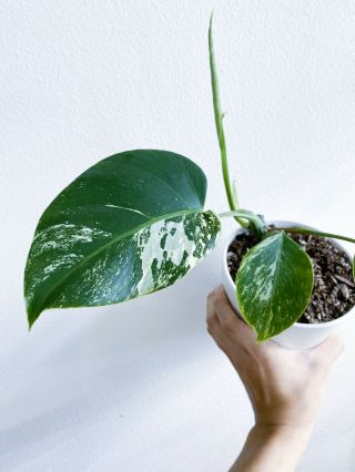 Variegated Monstera Borsigiana Plant - Fully Rooted Established - Rare Aroid