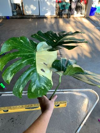 Monstera Very Variegated Rare Aroid Philodendron
