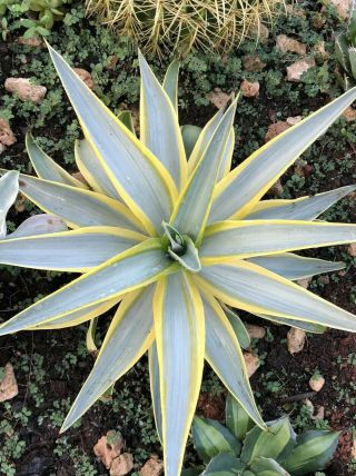 Agave Desmettiana Galactic Traveler Rare Agave Variegated Exotic Succulent