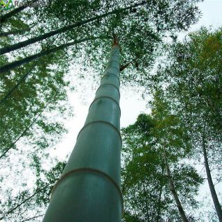1kg Moso Bamboo,  Phyllostachys Pubescens Seeds Giant Rare Fresh Seeds