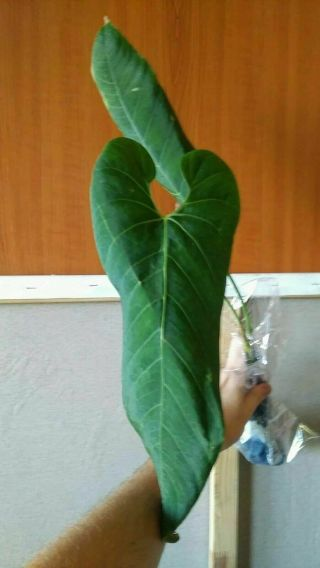 Extremely Rare Endemic Anthurium Marmoratum Hard To Get Velvet Aroid Large Size