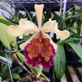 "Cattleya Dowiana Var.  Aurea Established Bs 6"" Basket Fragrant In Spike Rare"